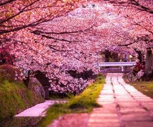 Жапонияда сакура 1200 жылда ең алғаш рет ерте гүлденді