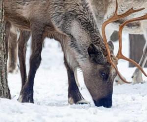 В Швеции построят специальные мосты для северных оленей