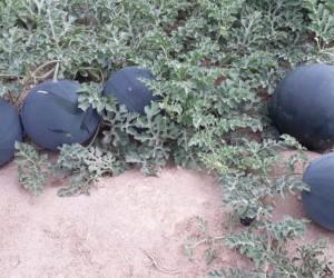 Өзбекстанда алғаш рет дәнегі жоқ қара қарбыз өсірілді
